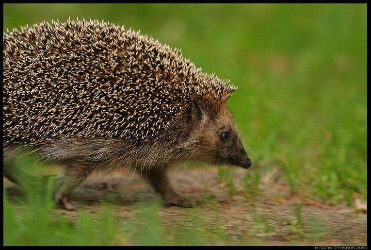 Siil, Hedgehog, Erinaceus europaeus, speeding