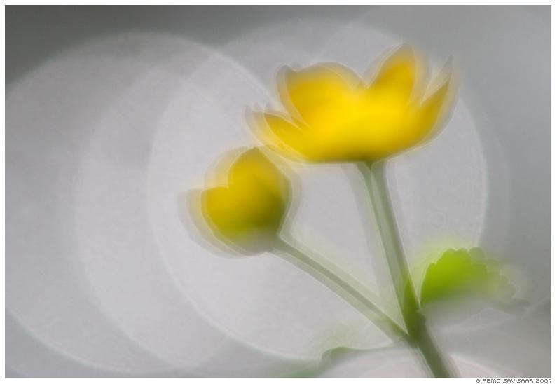 Varsakabi Yellow Marsh Marigold Caltha palustris vesi sillerdus rõngad rõngas lill