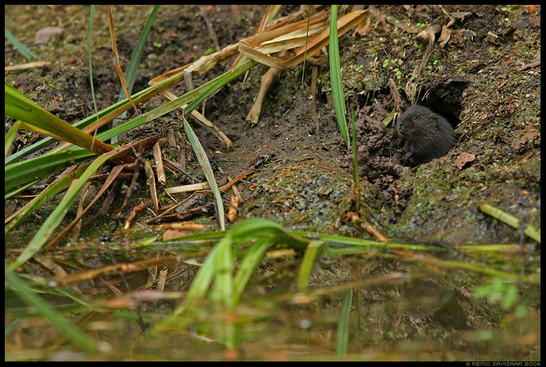 Mgri, Vesirott, Water Vole, Arvicola terrestris, noor, laps, young